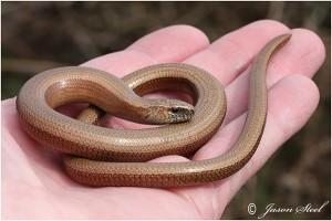 serpents en irlande