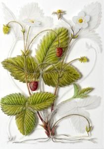 "Yanny Peters ""Strawberries"""