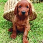 Irish-Setter-Puppy-3