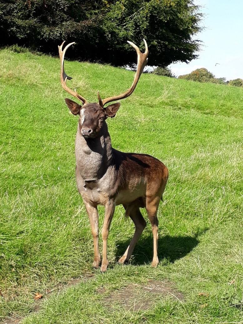 A deer at Dublin