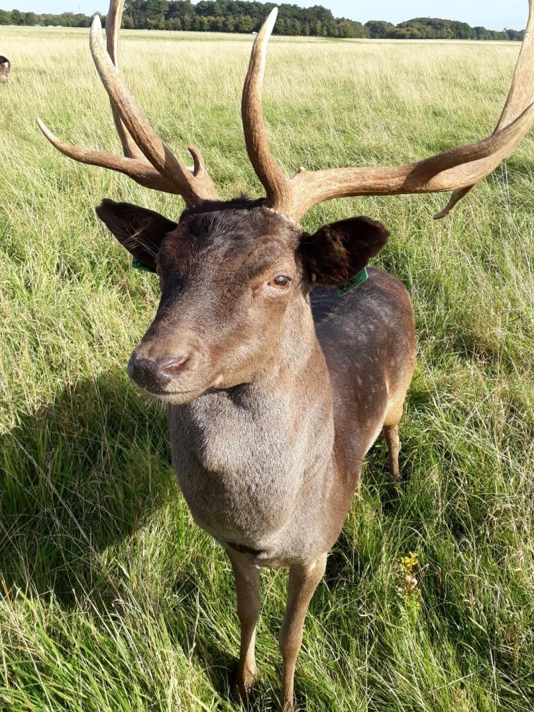 wild deer in Dublin