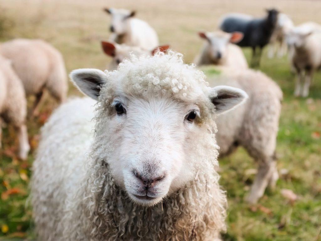 Les clichés irlandais : les moutons sur la route
